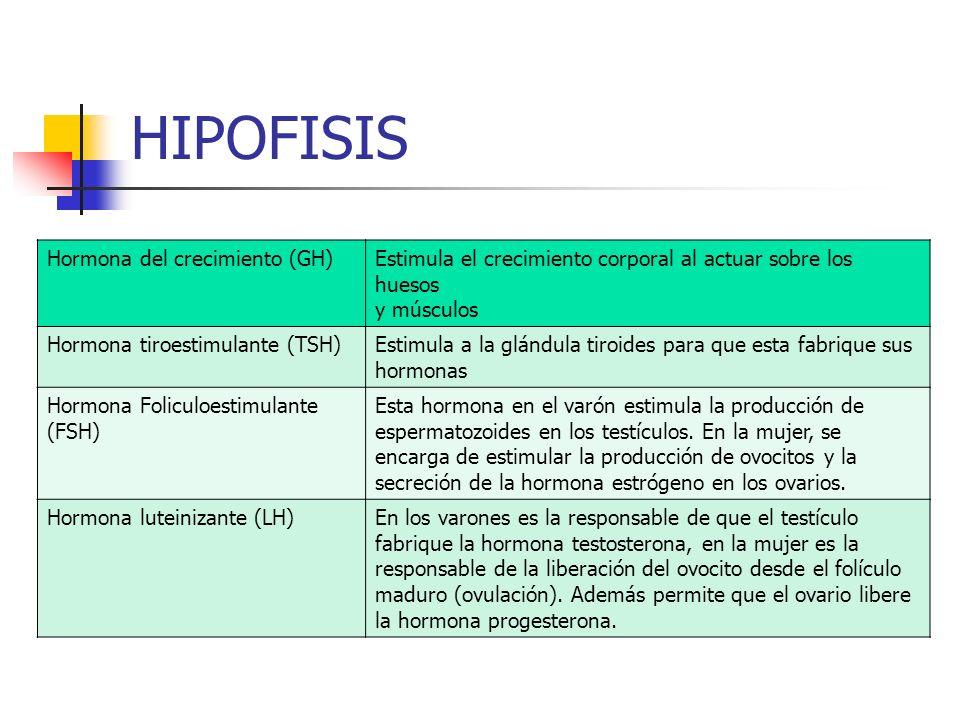 HIPOFISIS Hormona del crecimiento (GH)Estimula el crecimiento corporal al actuar sobre los huesos y músculos Hormona tiroestimulante (TSH)Estimula a l