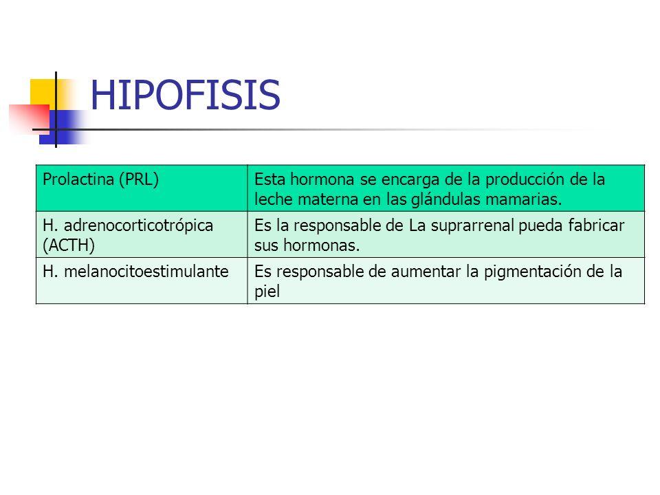 HIPOFISIS Prolactina (PRL)Esta hormona se encarga de la producción de la leche materna en las glándulas mamarias. H. adrenocorticotrópica (ACTH) Es la