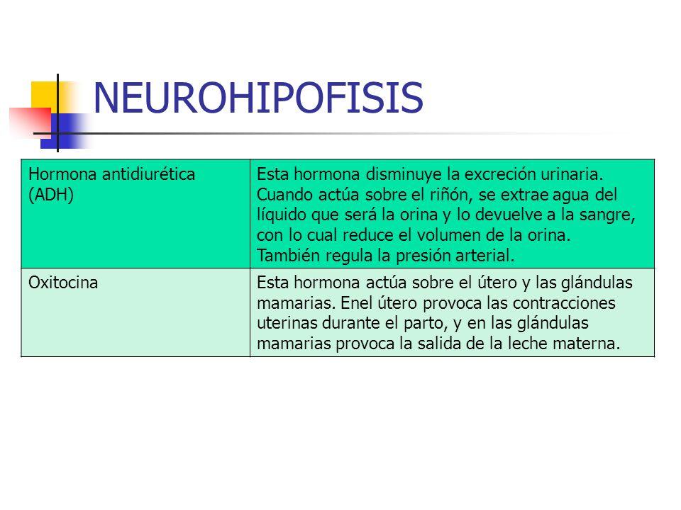 NEUROHIPOFISIS Hormona antidiurética (ADH) Esta hormona disminuye la excreción urinaria. Cuando actúa sobre el riñón, se extrae agua del líquido que s