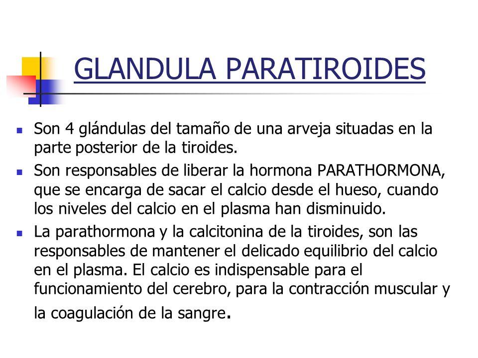 GLANDULA PARATIROIDES Son 4 glándulas del tamaño de una arveja situadas en la parte posterior de la tiroides. Son responsables de liberar la hormona P