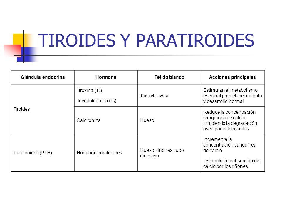 TIROIDES Y PARATIROIDES Glándula endocrinaHormonaTejido blancoAcciones principales Tiroides Tiroxina (T 4 ) triyodotironina (T 3 ) Todo el cuerpo Esti