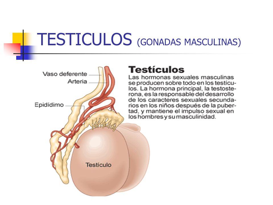TESTICULOS (GONADAS MASCULINAS)