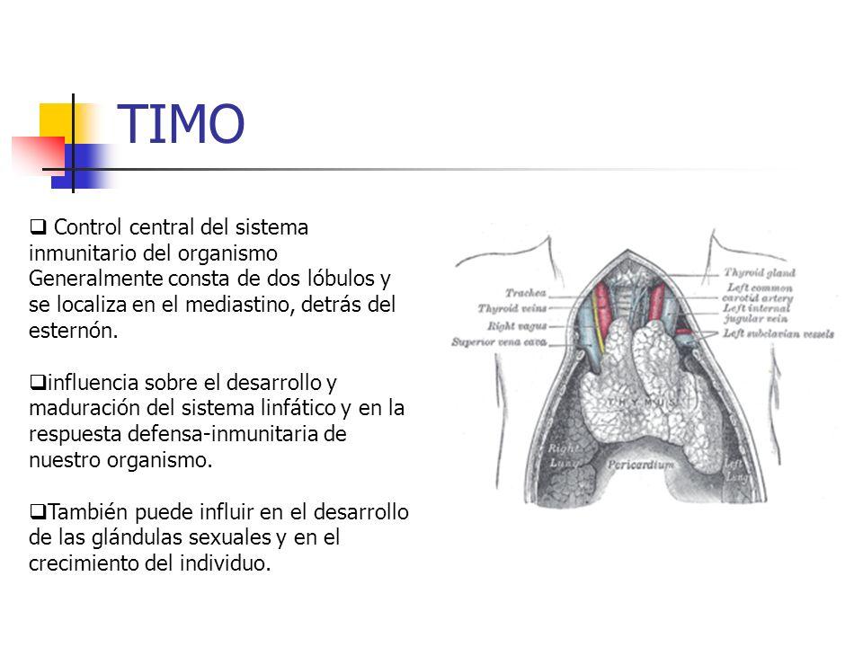 TIMO Control central del sistema inmunitario del organismo Generalmente consta de dos lóbulos y se localiza en el mediastino, detrás del esternón. inf