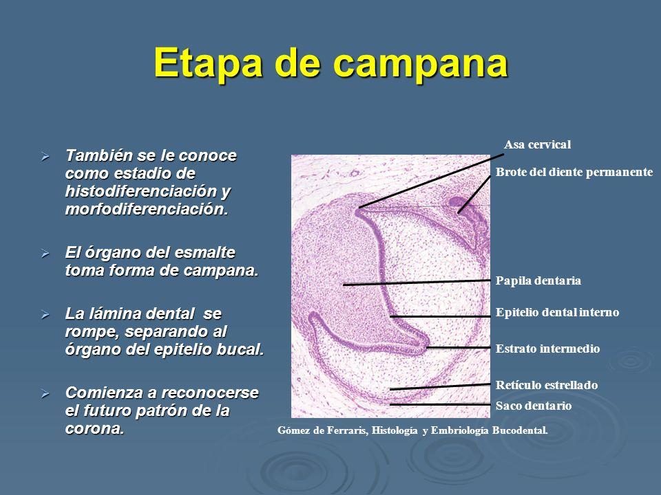 Etapa de campana También se le conoce como estadio de histodiferenciación y morfodiferenciación. También se le conoce como estadio de histodiferenciac