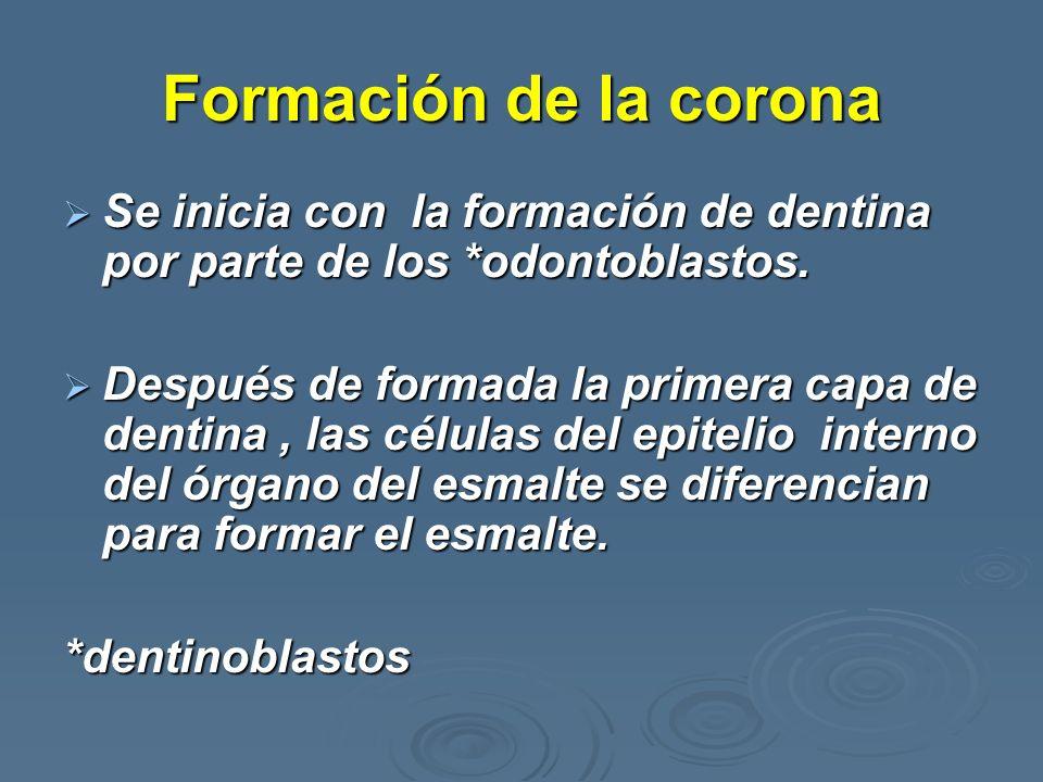 Formación de la corona Se inicia con la formación de dentina por parte de los *odontoblastos. Se inicia con la formación de dentina por parte de los *