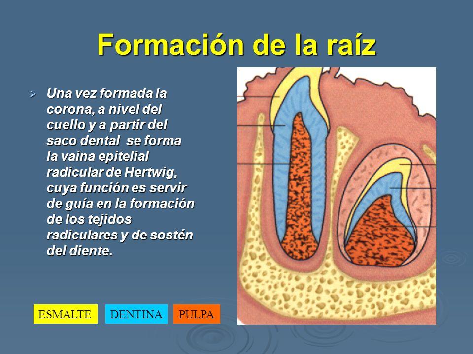 Formación de la raíz Una vez formada la corona, a nivel del cuello y a partir del saco dental se forma la vaina epitelial radicular de Hertwig, cuya f