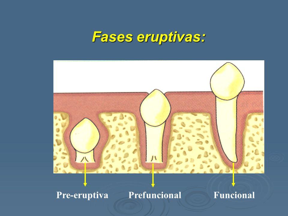 Pre-eruptiva PrefuncionalFuncional Fases eruptivas: Fases eruptivas:
