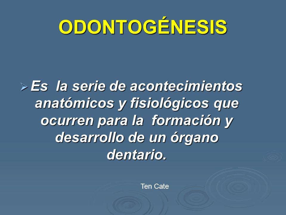 ODONTOGÉNESIS Es la serie de acontecimientos anatómicos y fisiológicos que ocurren para la formación y desarrollo de un órgano dentario. Es la serie d