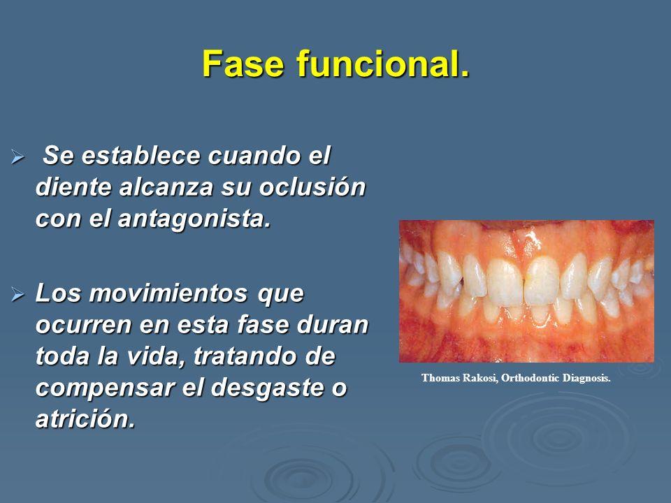 Fase funcional. Se establece cuando el diente alcanza su oclusión con el antagonista. Se establece cuando el diente alcanza su oclusión con el antagon