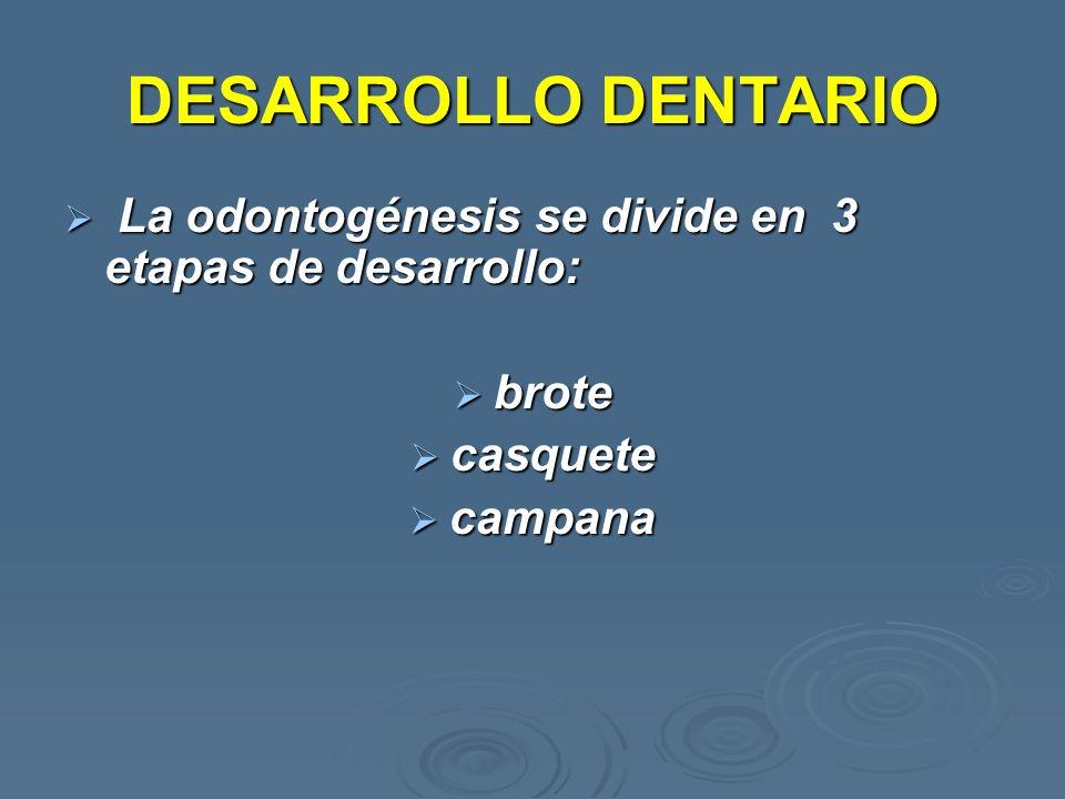 DESARROLLO DENTARIO La odontogénesis se divide en 3 etapas de desarrollo: La odontogénesis se divide en 3 etapas de desarrollo: brote brote casquete c
