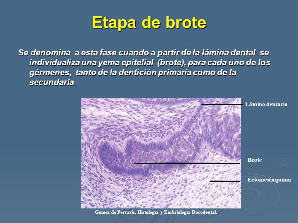 Etapa de brote Se denomina a esta fase cuando a partir de la lámina dental se individualiza una yema epitelial (brote), para cada uno de los gérmenes,