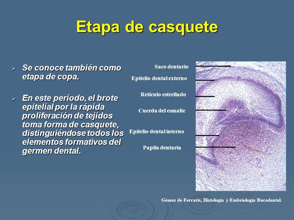Etapa de casquete Se conoce también como etapa de copa. Se conoce también como etapa de copa. En este período, el brote epitelial por la rápida prolif