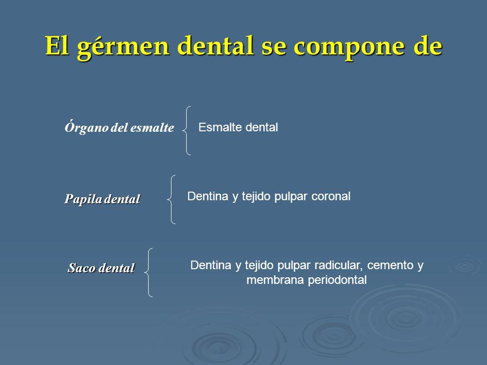 El gérmen dental se compone de Esmalte dental Dentina y tejido pulpar coronal Dentina y tejido pulpar radicular, cemento y membrana periodontal Órgano