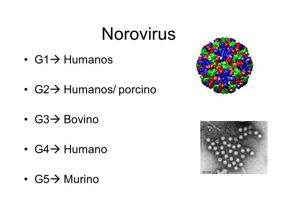 Norovirus G1 Humanos G2 Humanos/ porcino G3 Bovino G4 Humano G5 Murino