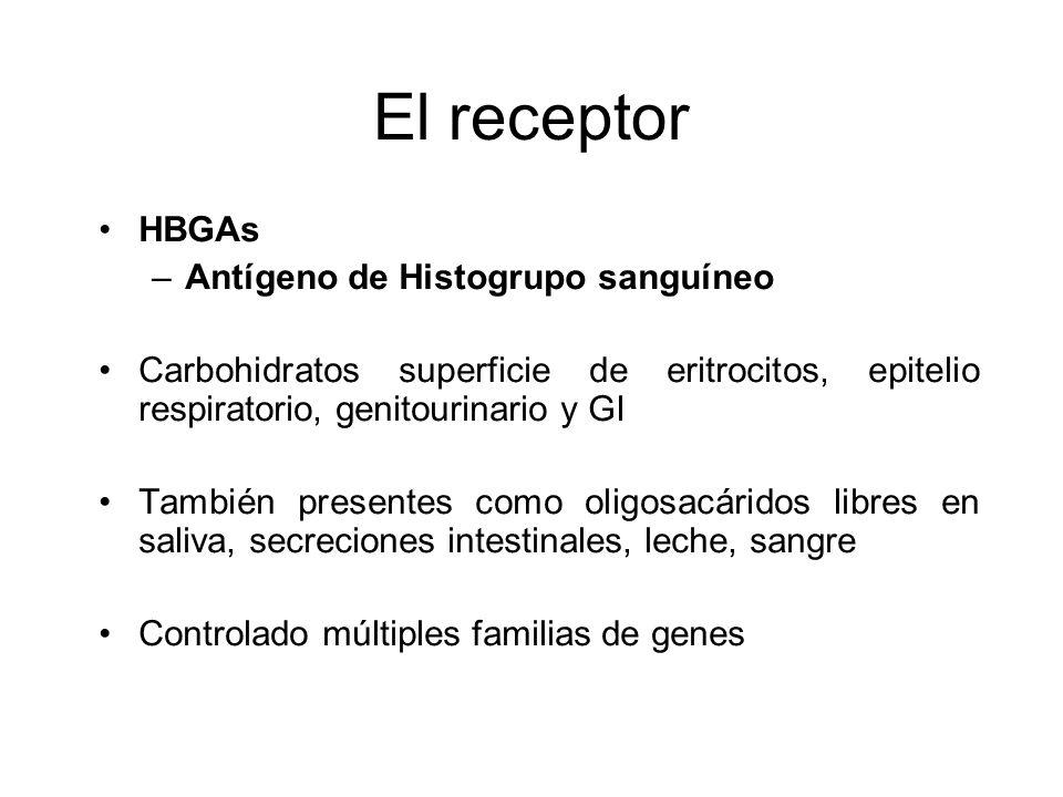 El receptor HBGAs –Antígeno de Histogrupo sanguíneo Carbohidratos superficie de eritrocitos, epitelio respiratorio, genitourinario y GI También presen
