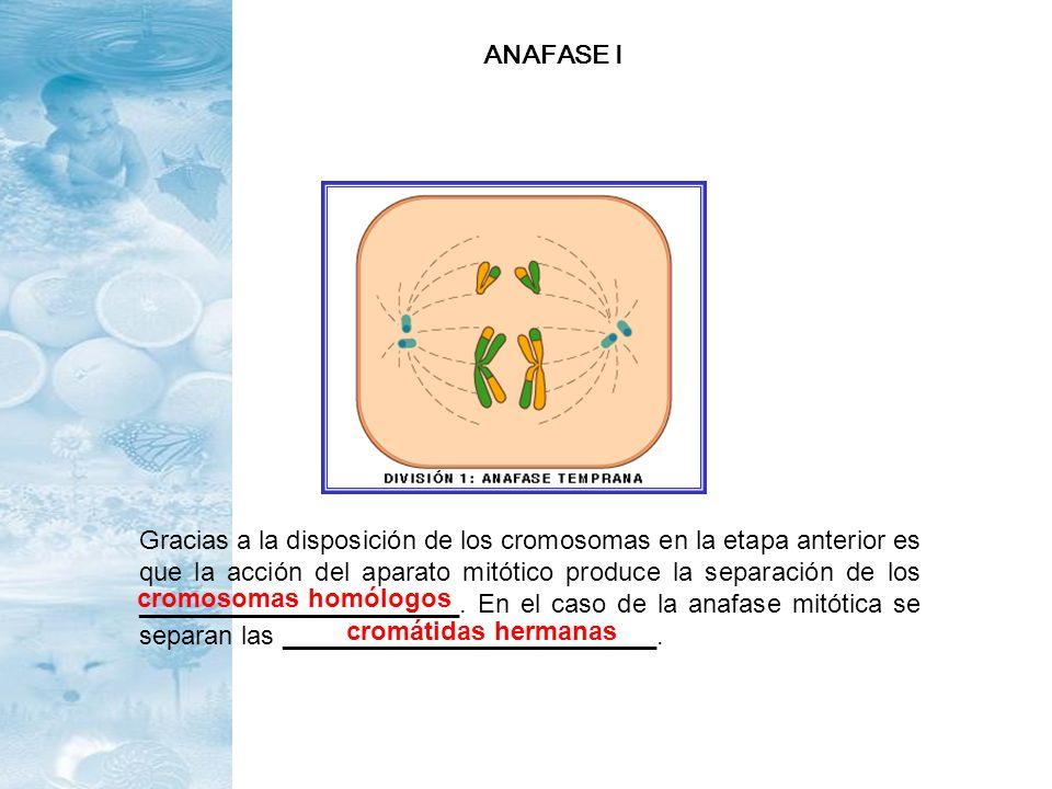 Gracias a la disposición de los cromosomas en la etapa anterior es que la acción del aparato mitótico produce la separación de los ___________________