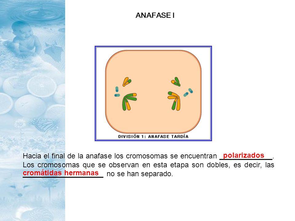 Hacia el final de la anafase los cromosomas se encuentran _____________. Los cromosomas que se observan en esta etapa son dobles, es decir, las ______