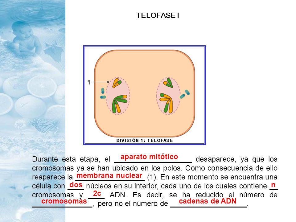 Durante esta etapa, el ___________________ desaparece, ya que los cromosomas ya se han ubicado en los polos. Como consecuencia de ello reaparece la __