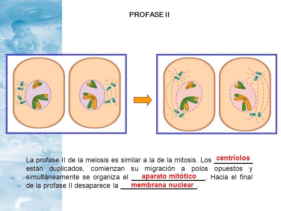 La profase II de la meiosis es similar a la de la mitosis. Los __________ están duplicados, comienzan su migración a polos opuestos y simultáneamente