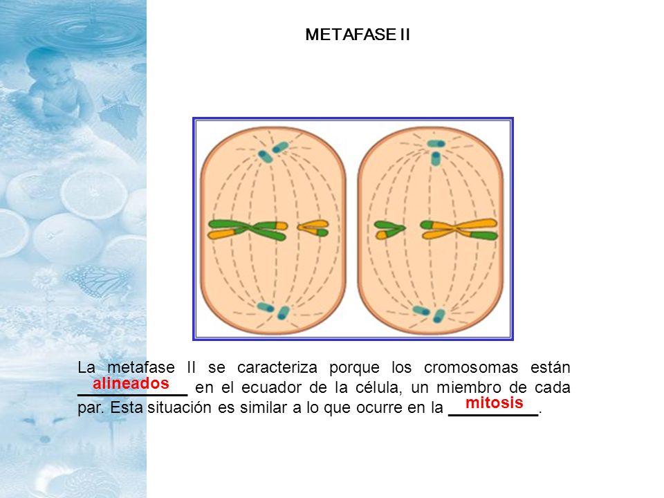 La metafase II se caracteriza porque los cromosomas están ____________ en el ecuador de la célula, un miembro de cada par. Esta situación es similar a