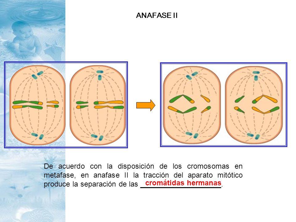 De acuerdo con la disposición de los cromosomas en metafase, en anafase II la tracción del aparato mitótico produce la separación de las _____________