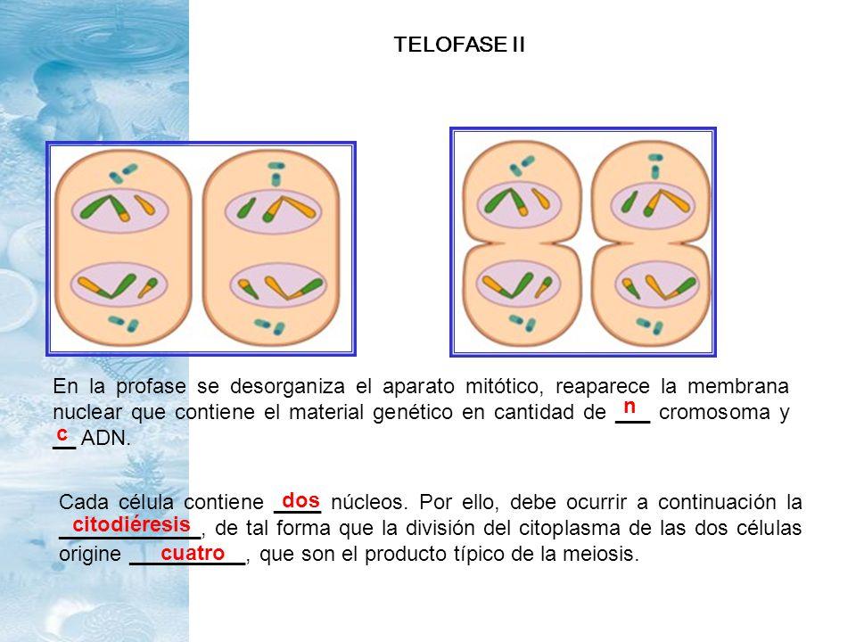 En la profase se desorganiza el aparato mitótico, reaparece la membrana nuclear que contiene el material genético en cantidad de ___ cromosoma y __ AD