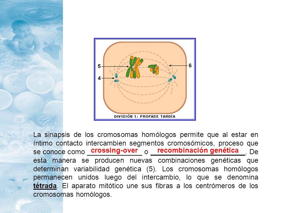 La sinapsis de los cromosomas homólogos permite que al estar en íntimo contacto intercambien segmentos cromosómicos, proceso que se conoce como ______