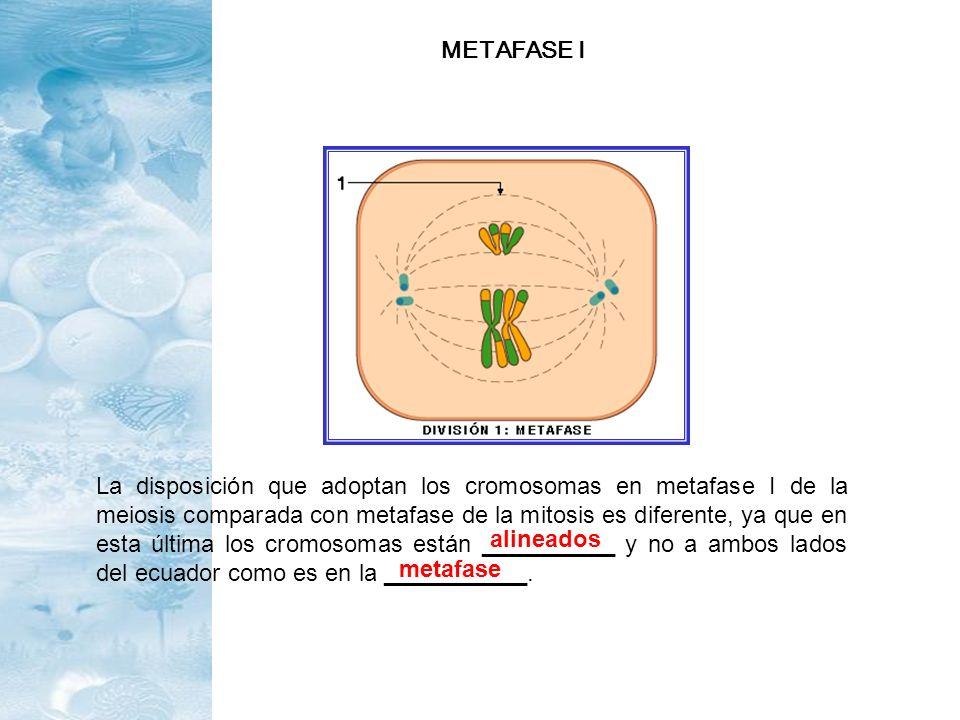 La disposición que adoptan los cromosomas en metafase I de la meiosis comparada con metafase de la mitosis es diferente, ya que en esta última los cro