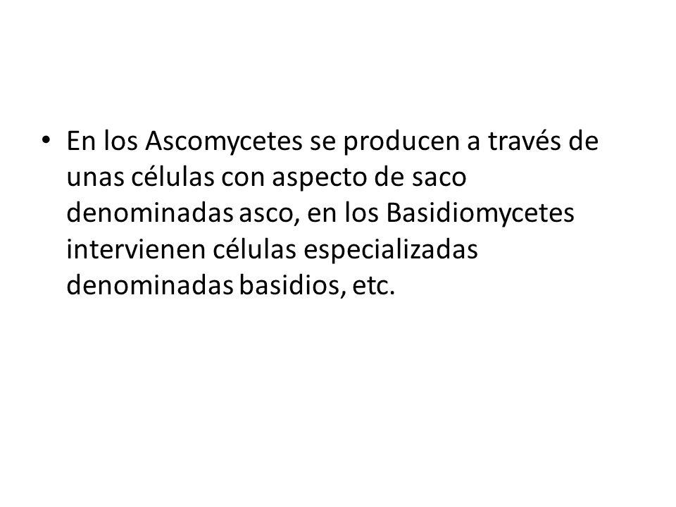 En los Ascomycetes se producen a través de unas células con aspecto de saco denominadas asco, en los Basidiomycetes intervienen células especializadas