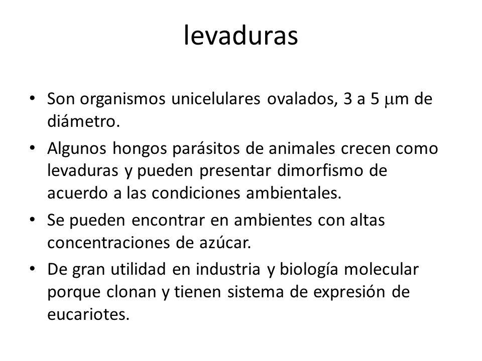 levaduras Son organismos unicelulares ovalados, 3 a 5 m de diámetro. Algunos hongos parásitos de animales crecen como levaduras y pueden presentar dim