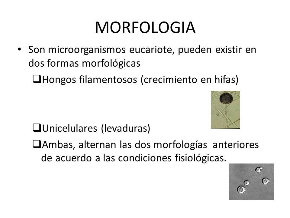 MORFOLOGIA Son microorganismos eucariote, pueden existir en dos formas morfológicas Hongos filamentosos (crecimiento en hifas) Unicelulares (levaduras