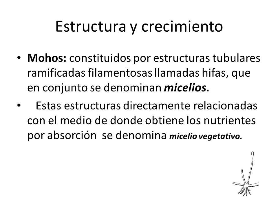 Estructura y crecimiento Mohos: constituidos por estructuras tubulares ramificadas filamentosas llamadas hifas, que en conjunto se denominan micelios.