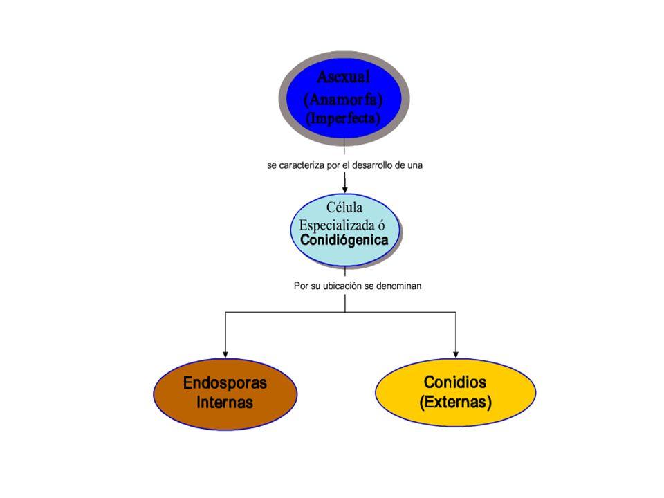 Reproduccion sexual esporas hongos (perfectos) En la formación de esporas sexuales intervienen una gran variedad de estructuras y la reproducción sexual difiere notablemente entre los diversos grupos de hongos.
