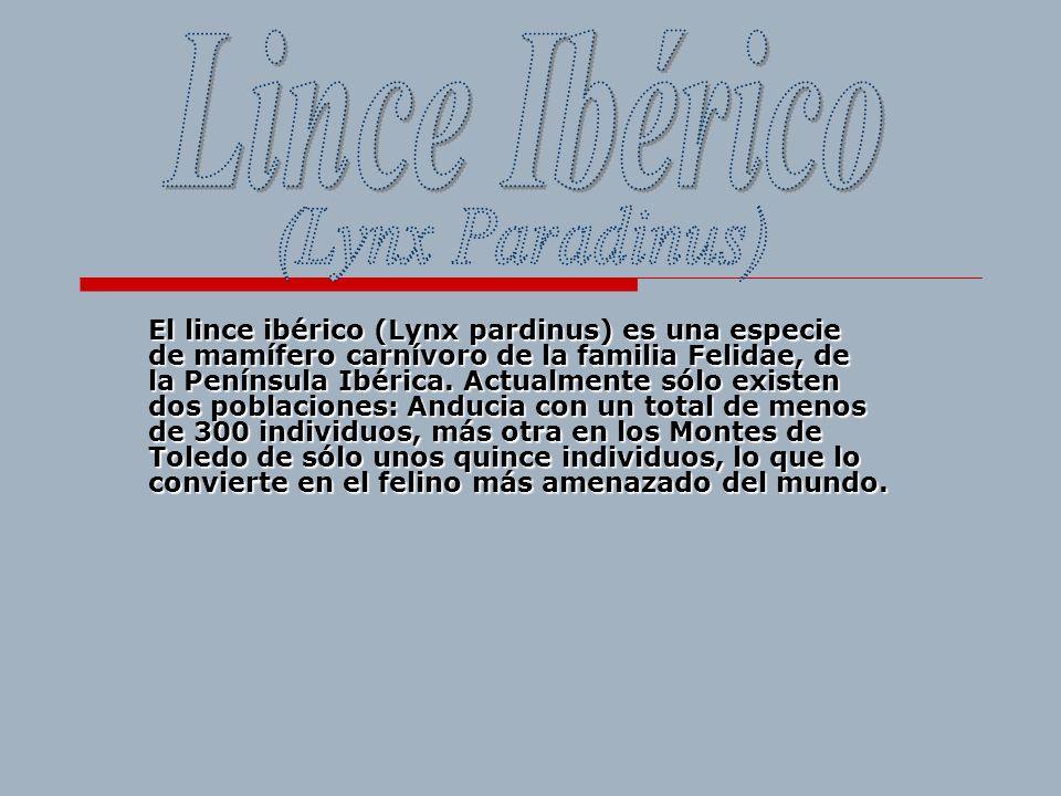 El lince ibérico (Lynx pardinus) es una especie de mamífero carnívoro de la familia Felidae, de la Península Ibérica. Actualmente sólo existen dos pob
