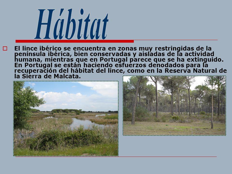 El lince ibérico se encuentra en zonas muy restringidas de la península ibérica, bien conservadas y aisladas de la actividad humana, mientras que en P