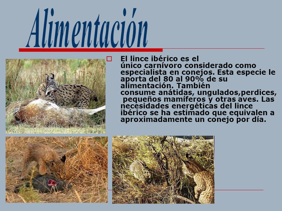 El lince ibérico es el único carnívoro considerado como especialista en conejos. Esta especie le aporta del 80 al 90% de su alimentación. También cons