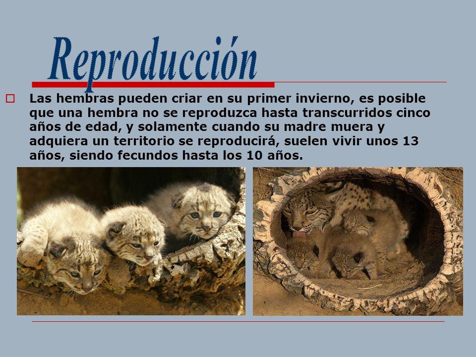 Las hembras pueden criar en su primer invierno, es posible que una hembra no se reproduzca hasta transcurridos cinco años de edad, y solamente cuando