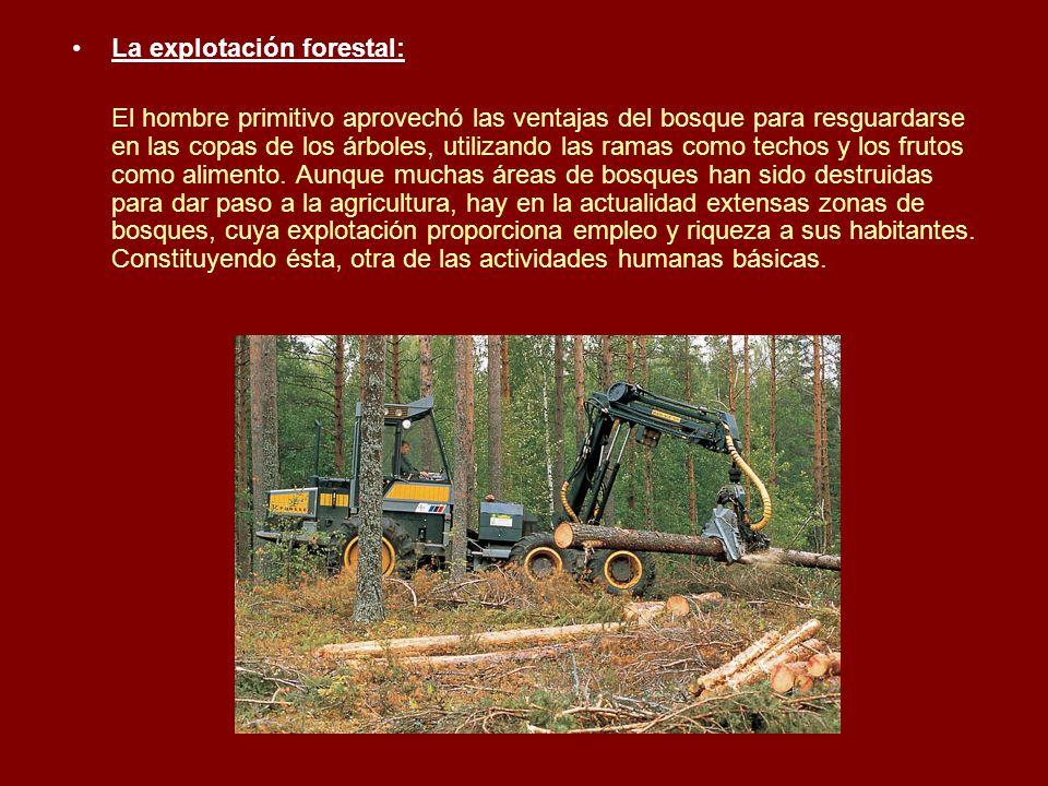 La explotación forestal: El hombre primitivo aprovechó las ventajas del bosque para resguardarse en las copas de los árboles, utilizando las ramas com