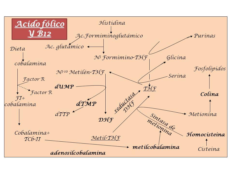 Acido fólico Y B12 dTMP Dieta Factor R THF Metil-THF Homocisteina Metionina Glicina Serina dUMP dTTP Histidina Ac.Formiminoglutámico N 5 Formimino-THF
