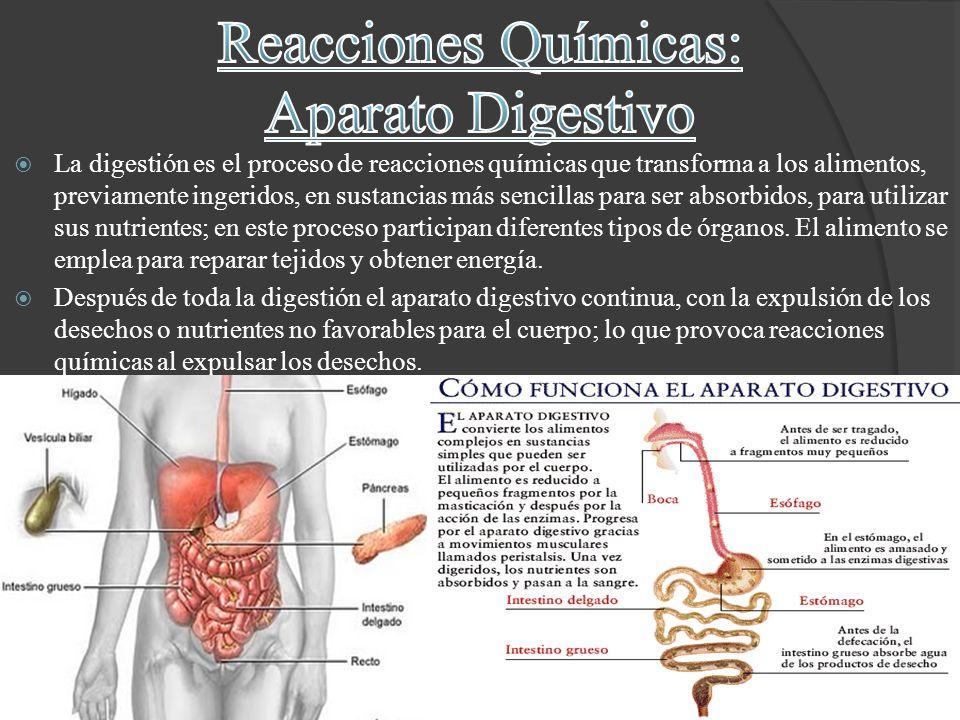 La digestión es el proceso de reacciones químicas que transforma a los alimentos, previamente ingeridos, en sustancias más sencillas para ser absorbid