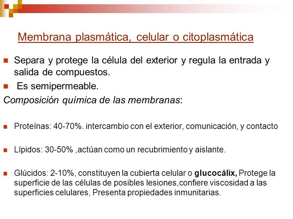 Membrana plasmática, celular o citoplasmática Separa y protege la célula del exterior y regula la entrada y salida de compuestos. Es semipermeable. Co
