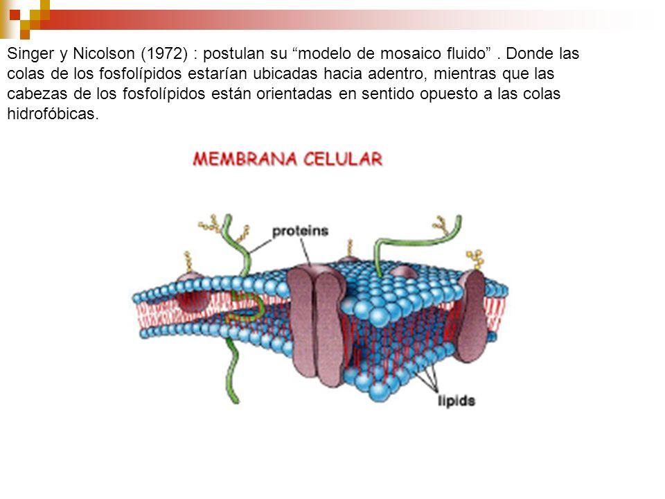 Singer y Nicolson (1972) : postulan su modelo de mosaico fluido. Donde las colas de los fosfolípidos estarían ubicadas hacia adentro, mientras que las