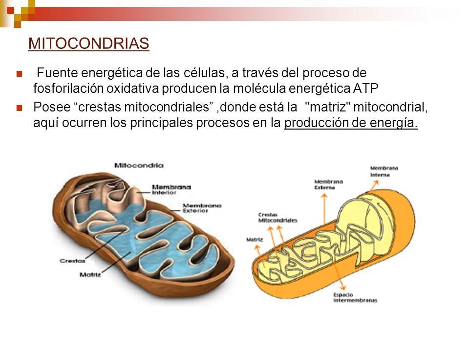 MITOCONDRIAS Fuente energética de las células, a través del proceso de fosforilación oxidativa producen la molécula energética ATP Posee crestas mitoc
