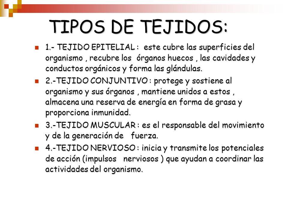 TIPOS DE TEJIDOS: 1.- TEJIDO EPITELIAL : este cubre las superficies del organismo, recubre los órganos huecos, las cavidades y conductos orgánicos y f