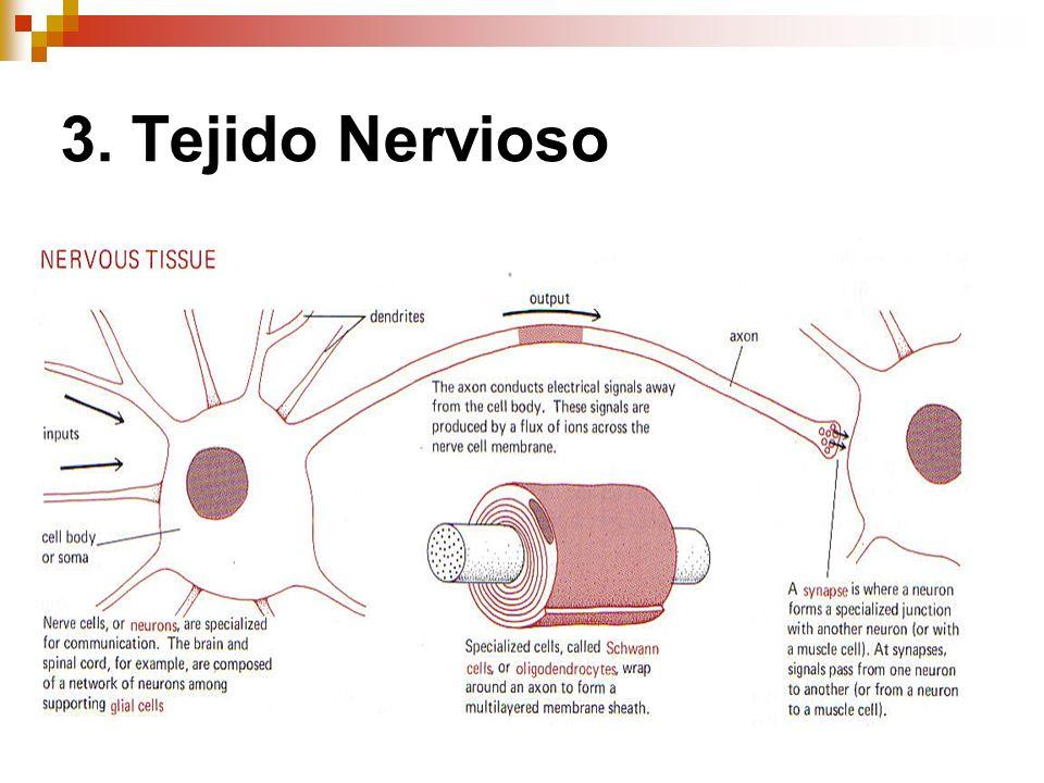 3. Tejido Nervioso