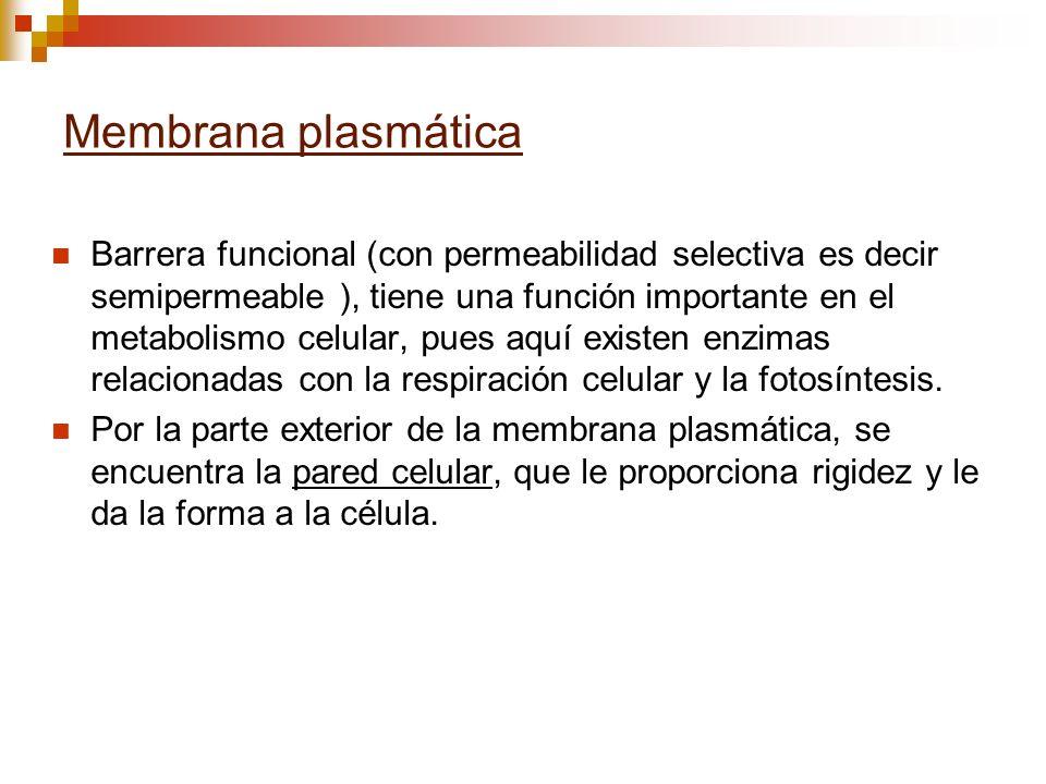 Membrana plasmática Barrera funcional (con permeabilidad selectiva es decir semipermeable ), tiene una función importante en el metabolismo celular, p