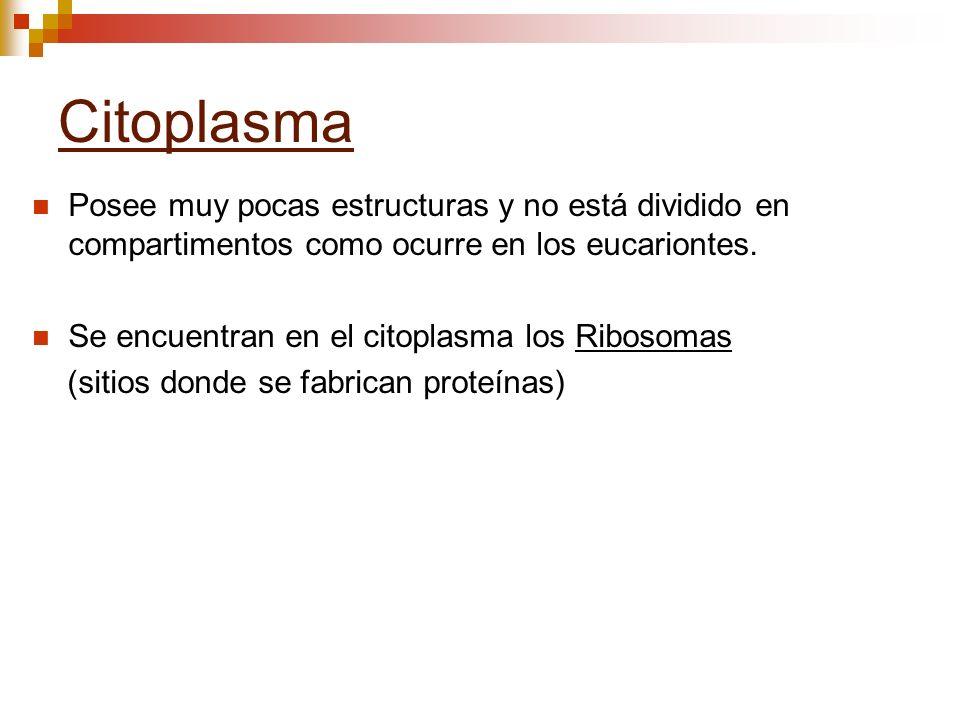 Citoplasma Posee muy pocas estructuras y no está dividido en compartimentos como ocurre en los eucariontes. Se encuentran en el citoplasma los Ribosom