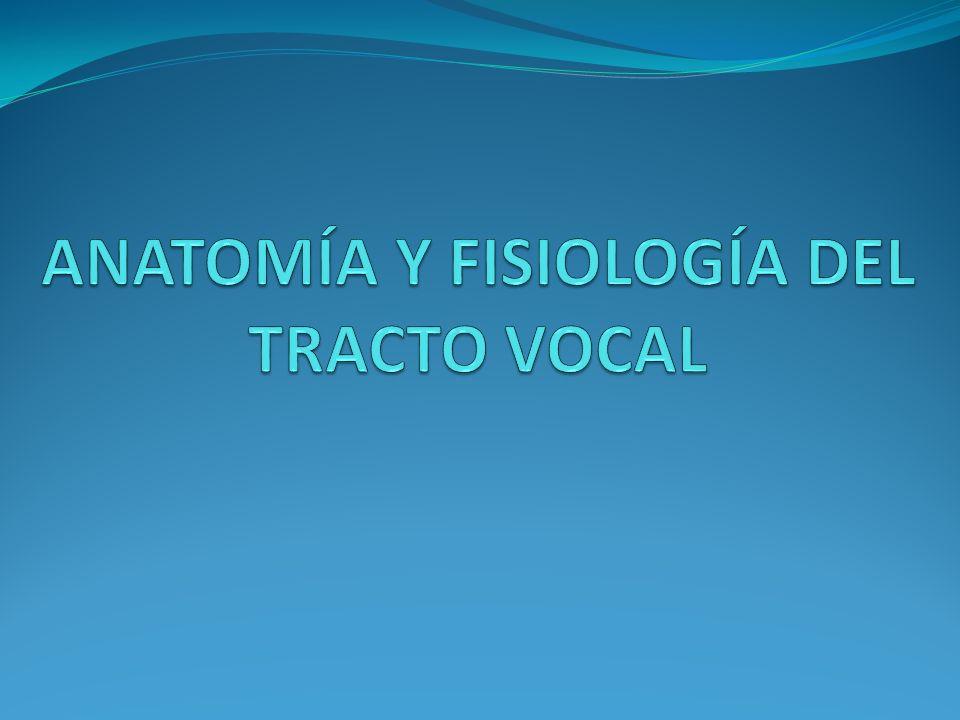 Hay 4 cuerdas vocales: 2 superiores que no participan en la articulación de la voz, y, 2 inferiores, las verdaderas cuerdas vocales, responsables de la producción de la voz.