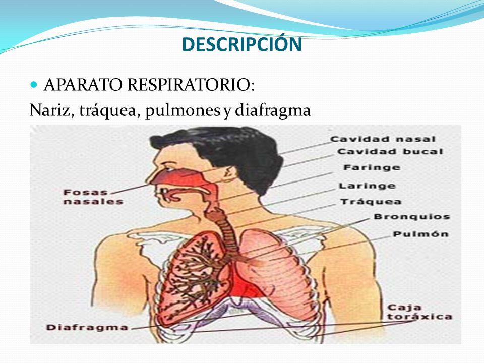 DESCRIPCIÓN APARATO RESPIRATORIO: Nariz, tráquea, pulmones y diafragma