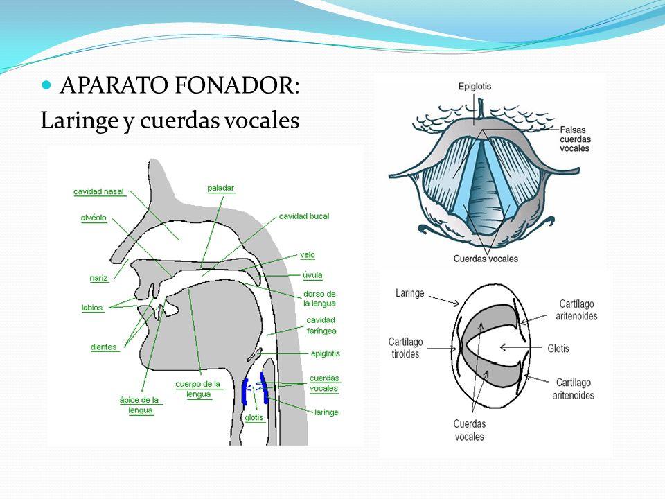 APARATO RESONADOR: Huesos de la cabeza, paladar óseo, senos nasales, cavum, y faringe.